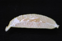 Green Seedless Australian Fingerlime