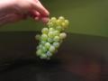 colombard-white-grape-bunch