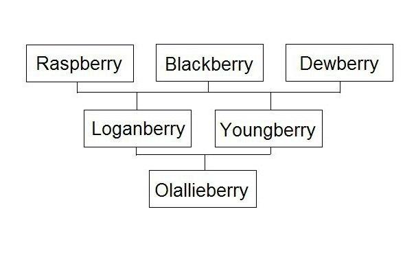 olallie-lineage